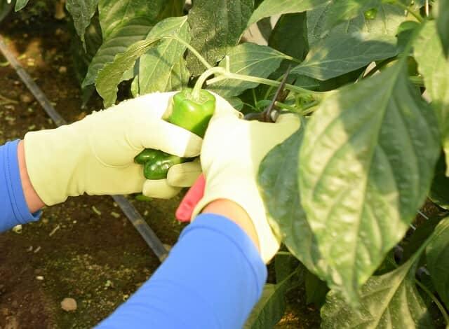 ピーマンを収穫する手