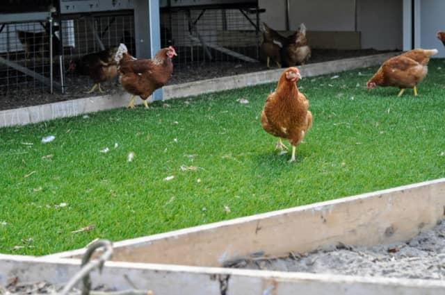 オランダ養鶏
