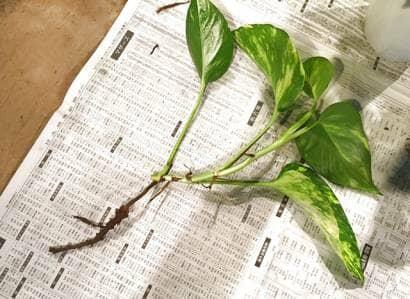 すでに根が出ているポトスの挿し穂