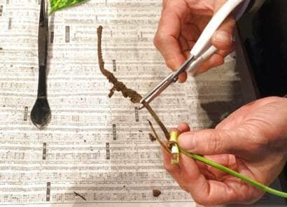 挿し穂の気根をカット