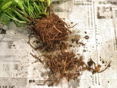 ポトスの根を整理