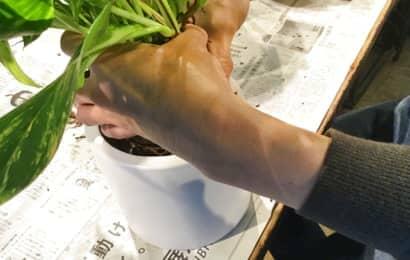 ポトスを新しい鉢に移す
