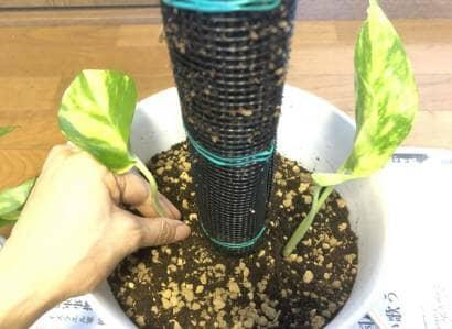 ポトスを植え付ける