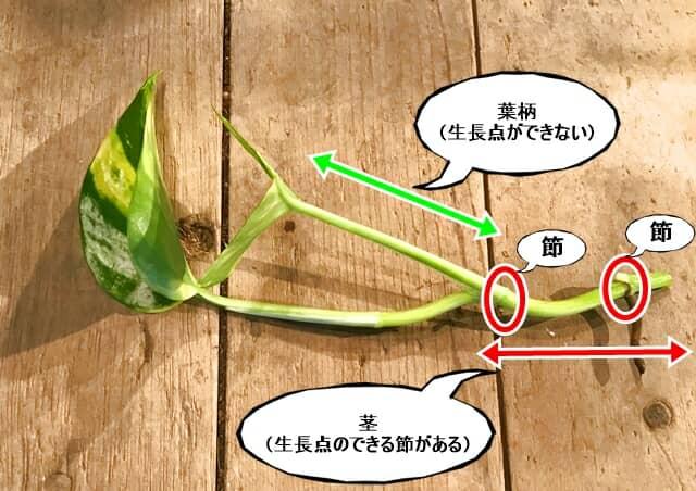 ポトスの挿し穂の説明
