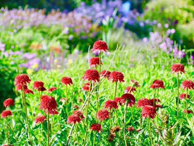 暖地にもおすすめ!サマーガーデンを彩る暑さに強い宿根草【Garden Story連携企画】