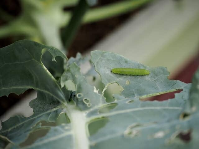 アオムシの食害
