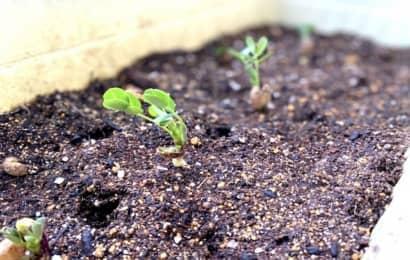 落花生の新芽
