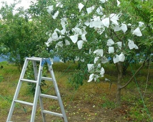 梨の木の袋掛け作業 02