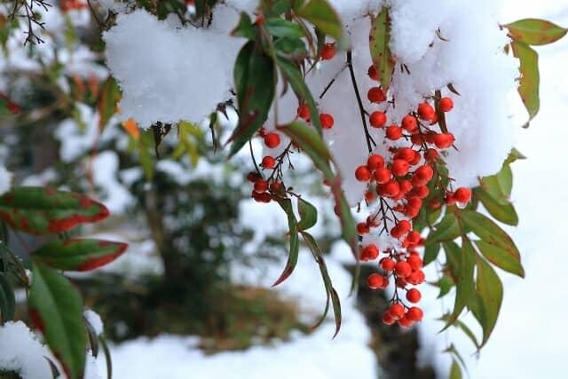 ナンテンの実と雪