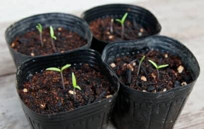 トマトの育苗