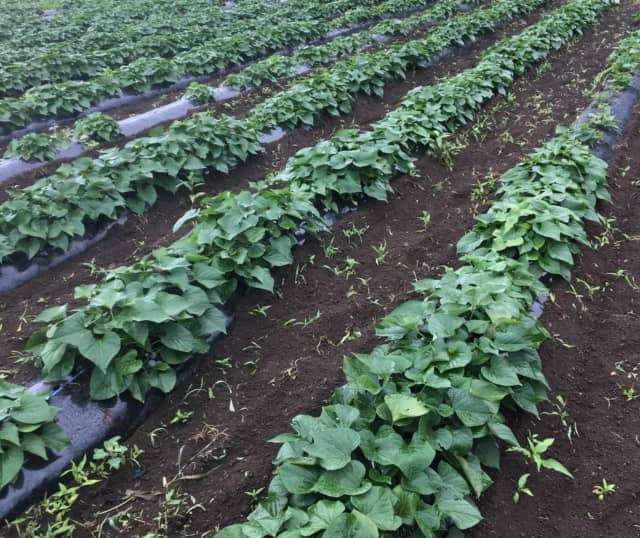 有機栽培土壌