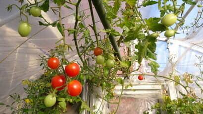 トマトのハウス栽培