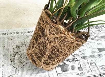 モンステラの根鉢