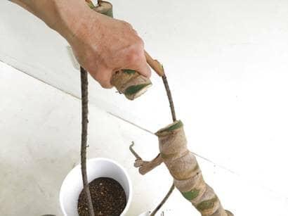 モンステラの茎を切り取る