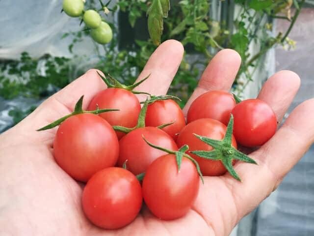 手のひらの上のミニトマト