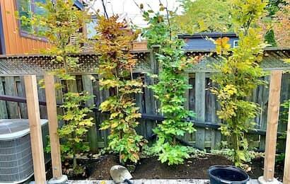 ヨーロッパバーチ植栽