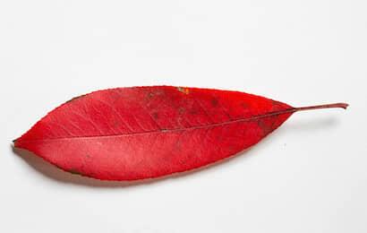 レッドロビンの葉