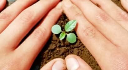 モロヘイヤの苗を植え付ける