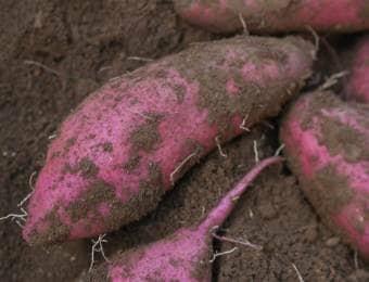 深刻な被害をもたらすサツマイモ基腐病(もとぐされびょう)