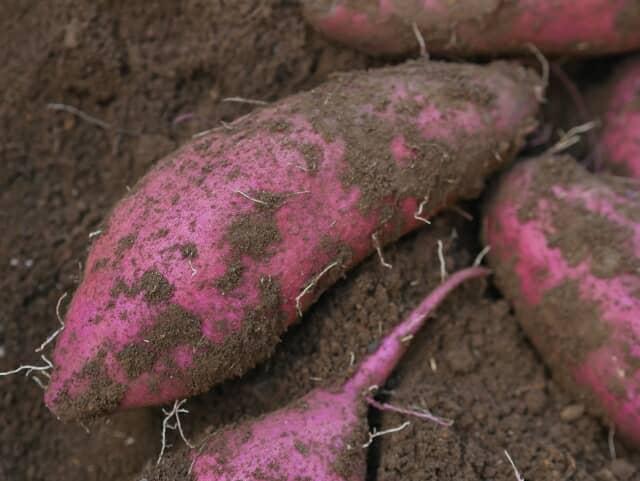 サツマイモ基腐病菌の新しい検出・同定技術を開発