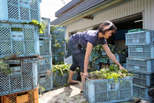 圃場から作業場に運ばれた枝豆