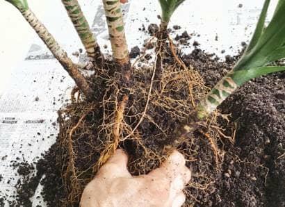 根鉢をほぐす