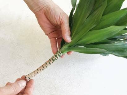 ドラセナの挿し穂