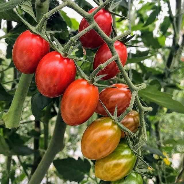 江戸崎トマト