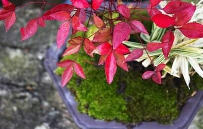 ナンテン鉢植え