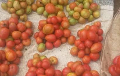 ガーナトマト