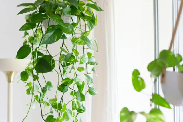 ハンギングにした観葉植物