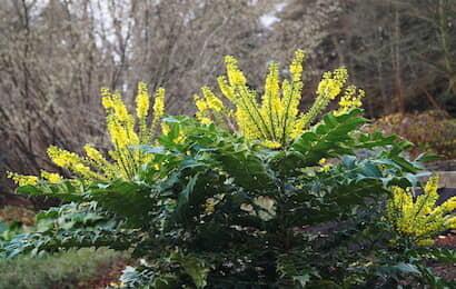ヒイラギナンテンの花