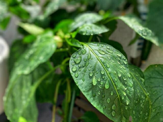 濡れた葉 ピーマン