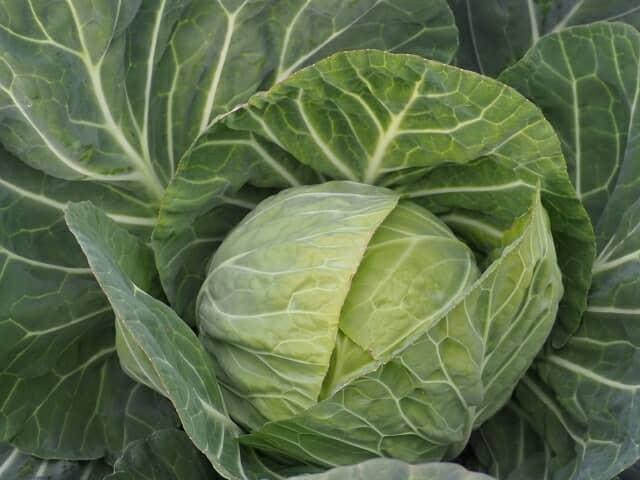 プランターでキャベツを栽培しよう!初心者でも収穫できる家庭菜園での育て方を菜園家がアドバイス