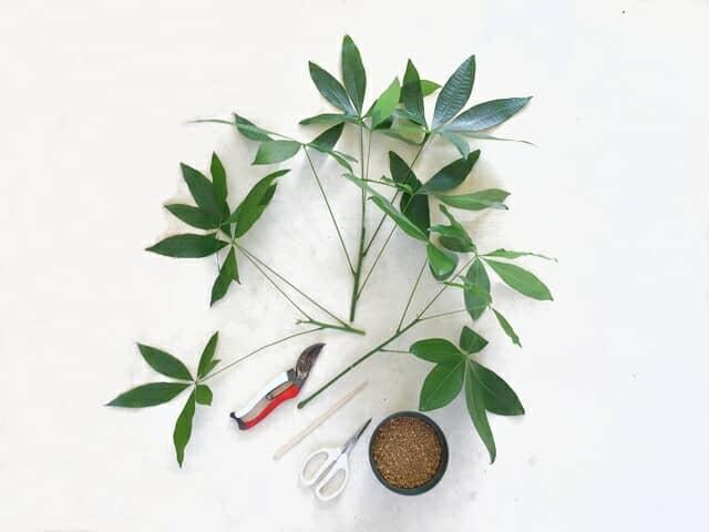 パキラの挿し木