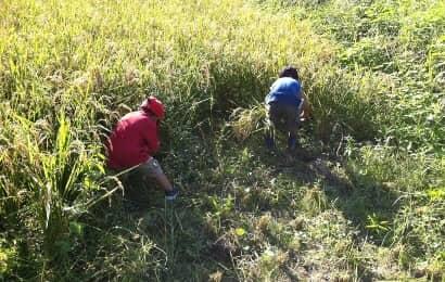 稲刈りをする子ども