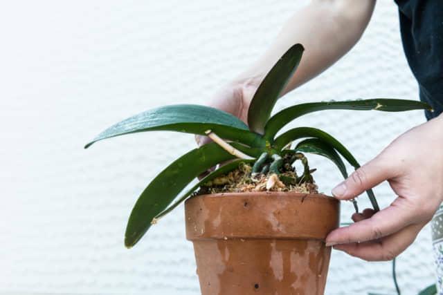 水苔を使ったランの鉢植え