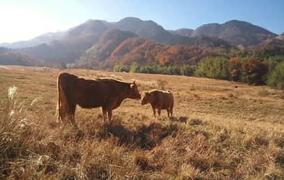 阿蘇で育つ赤牛